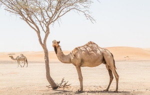 Camels Wallpapers For Android