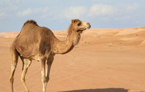 Camels Wallpapers Pack