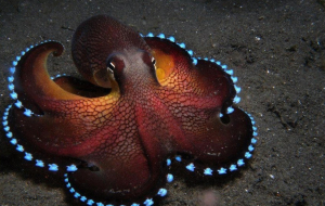 Cephalopod Beautiful Wallpaper