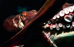 Cephalopod Wallpapers For IPhone