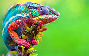 Chameleon Beautiful Wallpaper