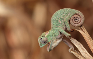 Chameleon High Resolution