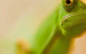 Chameleon Wallpapers For Android