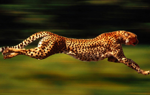 Cheetah Gallery