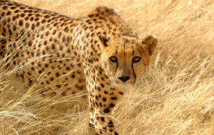 Cheetah High Resolution