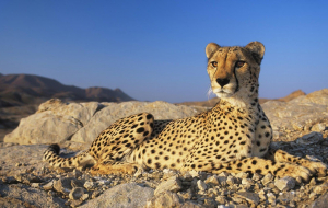 Cheetah Pictures