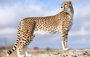 Cheetah Pinterest