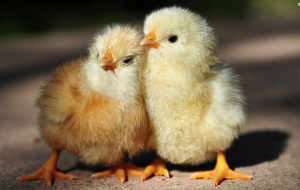 Chick Photos