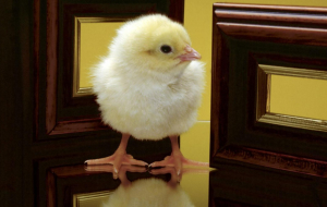 Chick Wallpapers HD