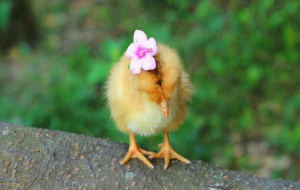 Chick Wallpapers For IPhone