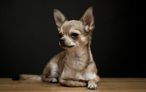 Chihuahua Beautiful Wallpaper