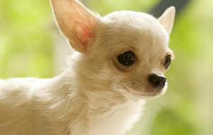 Chihuahua Full HD Wallpapers