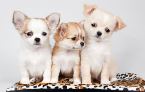 Chihuahua Wallpapers For Android