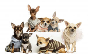 Chihuahua Wallpapers Pack