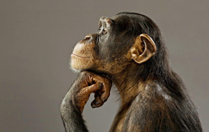 Chimpanzee Beautiful Wallpaper