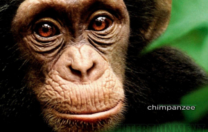 Chimpanzee High Resolution