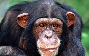 Chimpanzee Pinterest