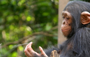 Chimpanzee Wallpapers HQ