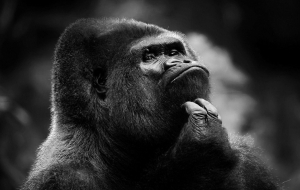 Chimpanzee Wallpapers For Android