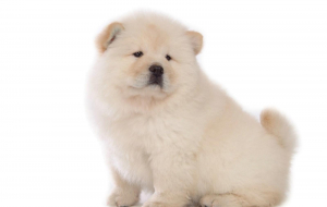 Chow Chow High Resolution
