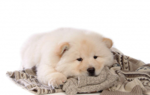 Chow Chow Images