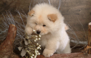 Chow Chow Wallpapers For Android