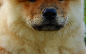 Chow Chow Wallpapers For IPhone