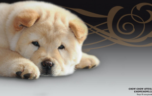 Chow Chow Wallpapers Pack