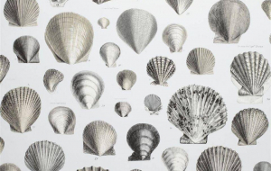 Cockle Wallpapers For Android