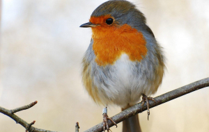 Collared Bush Robin Wallpapers For Android