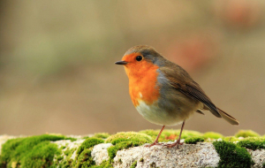 Collared Bush Robin Wallpapers Pack