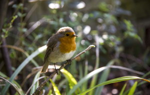 Collared Bush Robin Widescreen