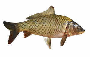 Common Carp Wallpapers Pack