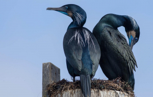 Cormorant Wallpapers For Android