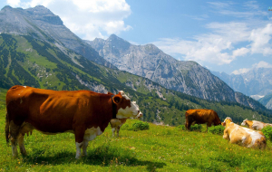 Cow Full HD Wallpapers