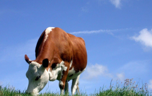Cow High Resolution