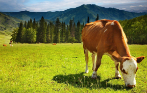 Cow Images