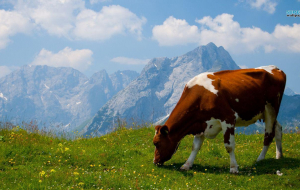 Cow Wallpapers HQ