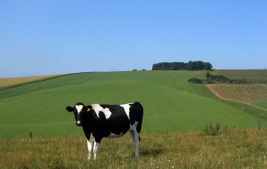 Cow Widescreen