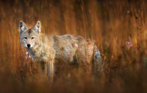 Coyote Full HD Wallpapers