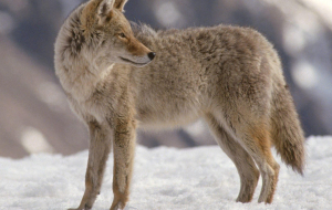 Coyote High Resolution
