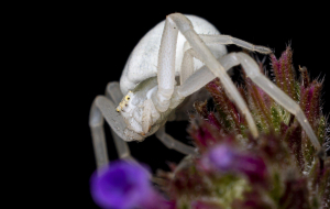 Crab Spiders Images