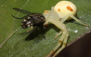 Crab Spiders In HQ
