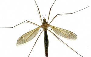 Crane Fly Pictures