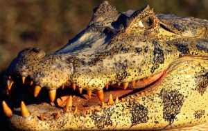Crocodile Wallpapers For Android