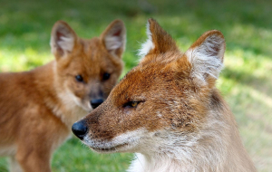 Dhole Gallery