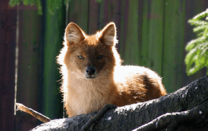 Dhole In HQ