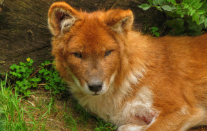 Dhole Pictures