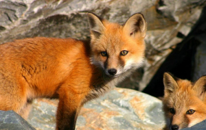 Dhole Wallpapers HQ