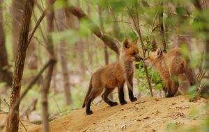 Dhole Wallpapers Pack